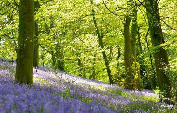 040. Bluebell Glade Gunthwaite Woods