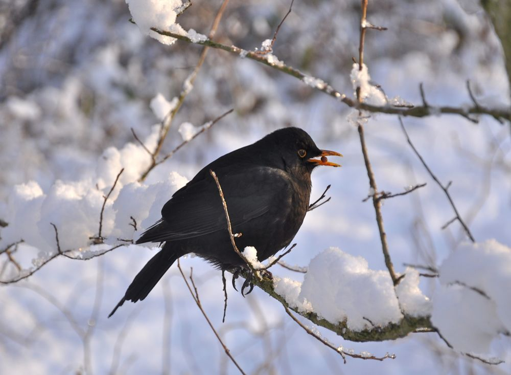 045.-Hungry-Blackbird