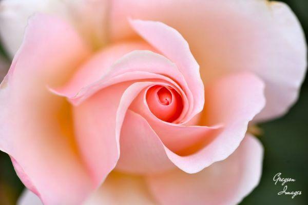 047-Pink-Swirls-Wisley-Rose