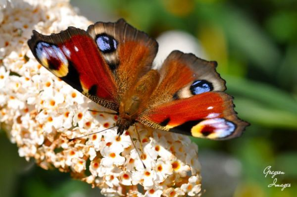 063.-Butterfly-on-a-Buddleia-at-home