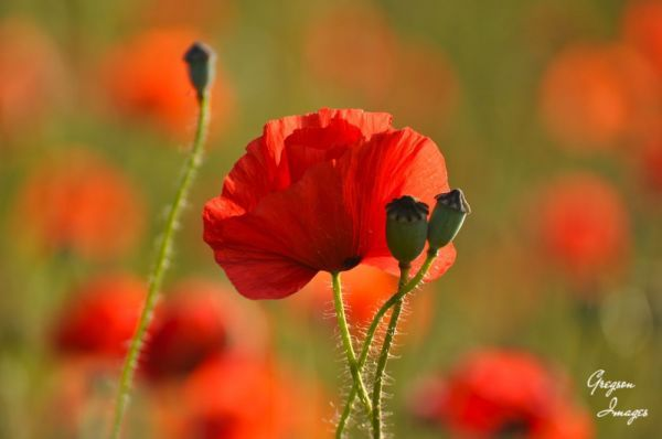 065.-Poppy-Day-Cawthorne