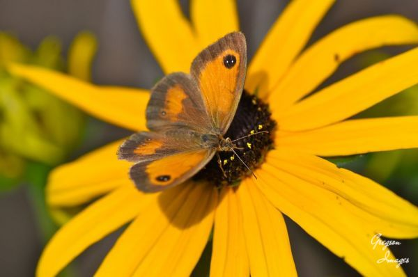 066-Butterfly-on-a-Rudbeckia