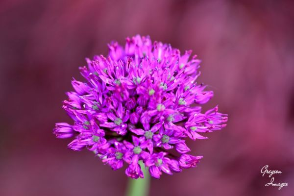 100-Allium-Flower