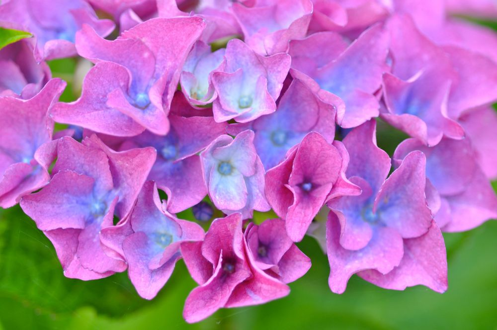 102-Hydrangea-Florets