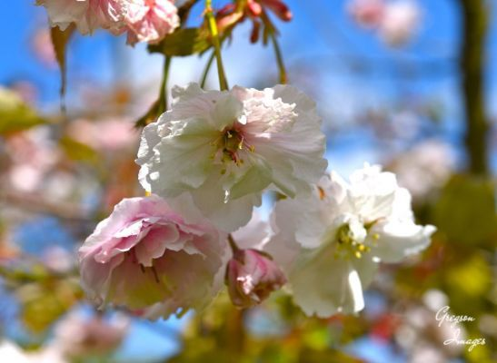 104-Cherry-Blossom-in-May