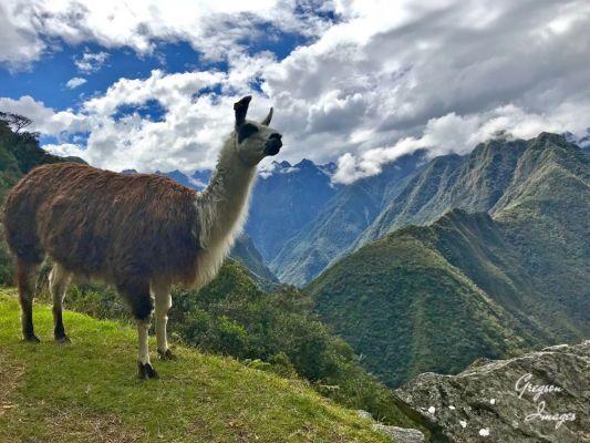 106-Llama-at-Winaywayna-Peru