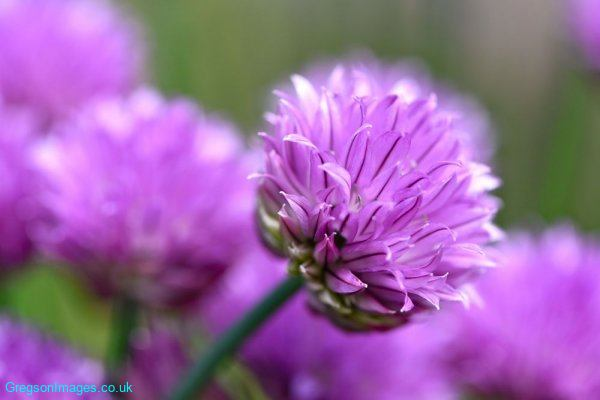 003-Chives-in-the-garden