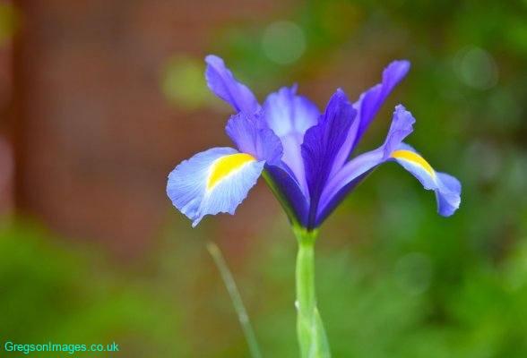 004-Iris-in-the-garden