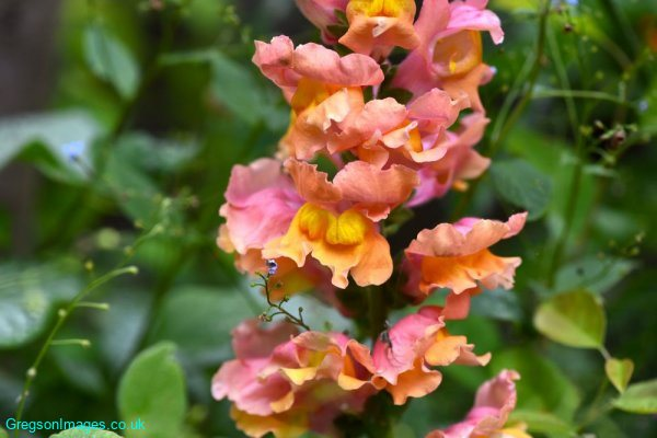 019-Antirrhinum-in-the-garden