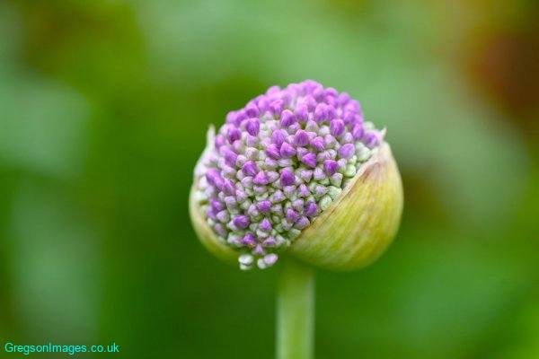 021-Emerging-Allium-Flower