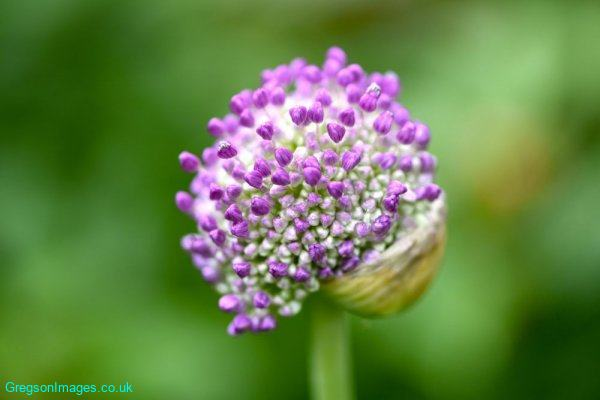 040-Allium-in-Flower