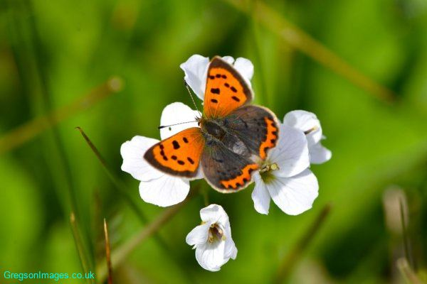 064-Small-Copper-Butterfly-down-the-lane