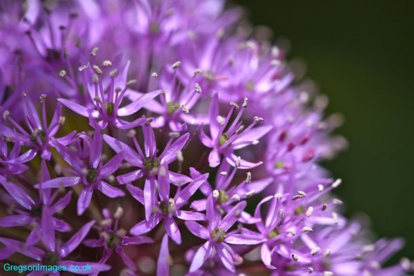 072-Allium-in-the-garden