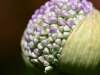 014-Emerging-Allium-Flower