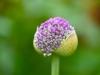 021-Emerging-Allium-Flower