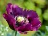 028-Deep-Purple-Poppy