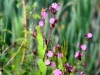 030-Red-Campion-down-the-lane