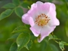 033-Wild-Roses-down-the-lane