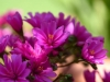 052-Lewisia-flowers-in-the-garden