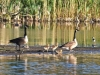 055-The-Goose-Family-down-the-lane