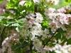 066-Rose-tinted-Hawthorne-Flowers-down-the-lane