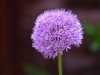 069-Allium-in-the-garden