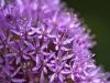 072-Allium-in-the-garden