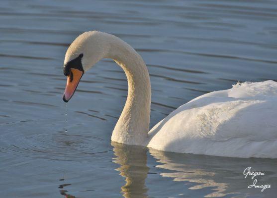 010-Swan