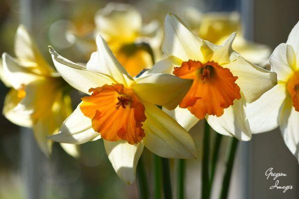 014-Daffodils-in-the-window