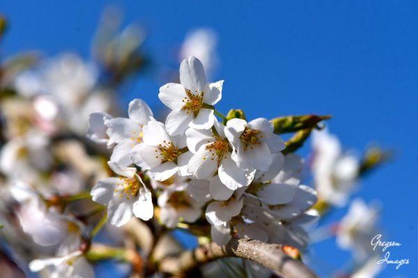 016-Plum-blossom-in-the-garden