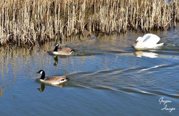 02-Swan-chasing-geese-away
