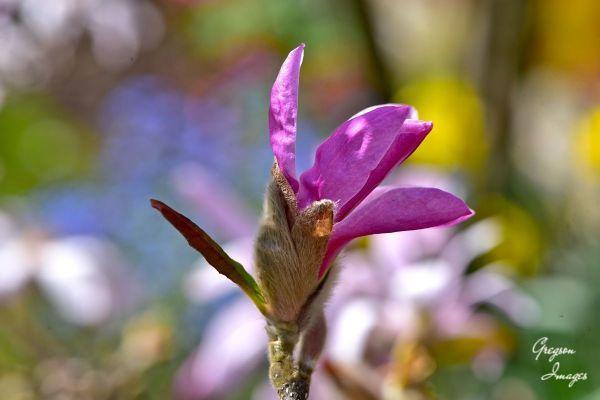 022-Magnolia