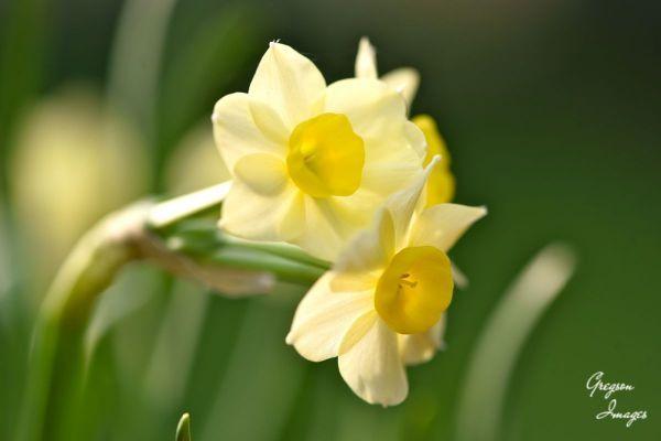 035-Narcissi