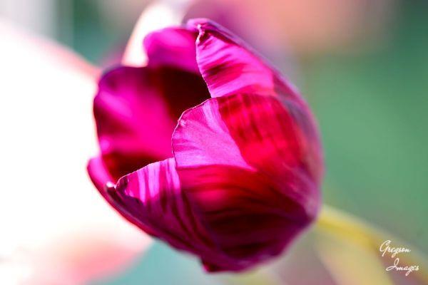 036-Tulip