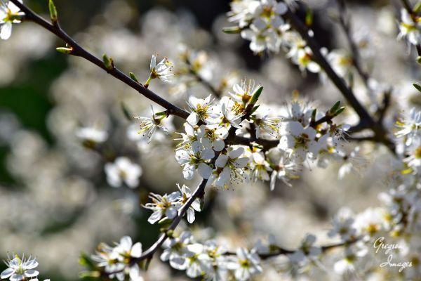 046-Blackthorn-Blossom