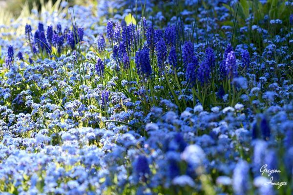 047-Carpet-of-blue-in-the-front-garden