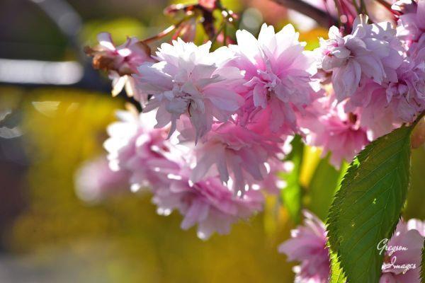 048-Cherry-Blossom