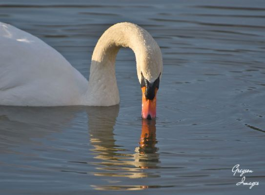 09-Swan
