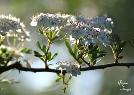 1_403-Hawthorn-in-the-early-morning-light