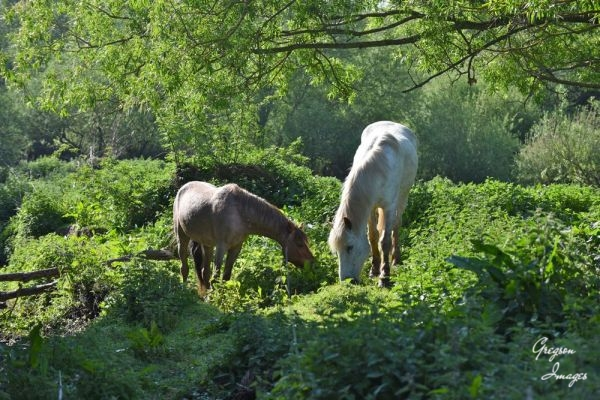 1_426-Horses-grazing-by-the-river-early-morning