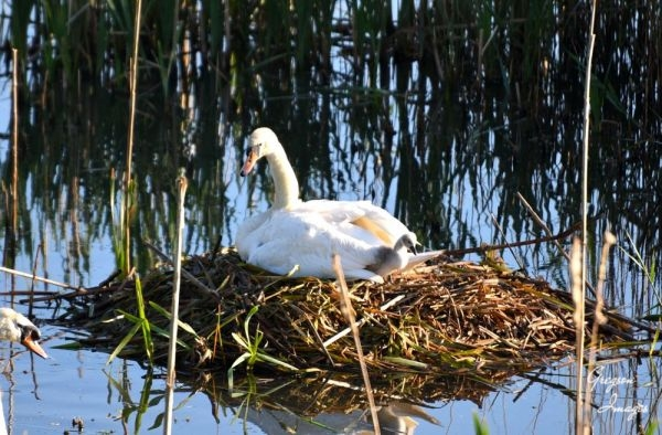 1_450-Mother-Swan-with-cygnets-waking-up