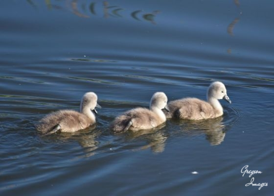 1_460-3-little-cygnets-went-swimming-one-day...