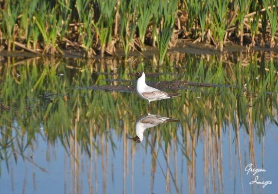 1_464-Black-Headed-Gull