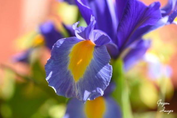 1_491-Blue-Iris-in-the-garden