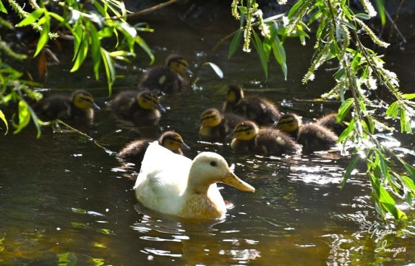 1_505-Mother-Duck-and-family-on-the-river