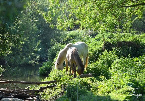 424-Horses-grazing-by-the-river-early-morning