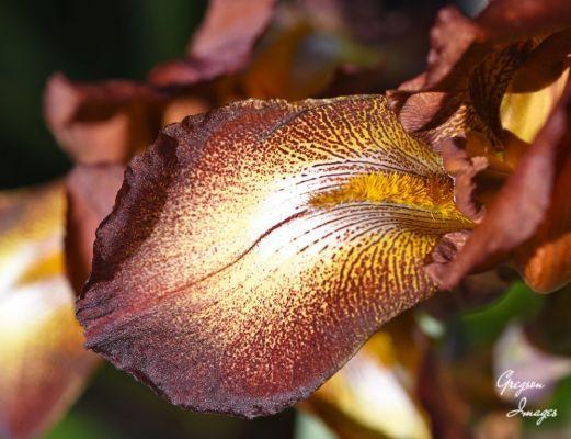 441-Brown-Iris-in-the-garden
