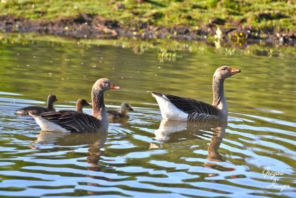 469-Greylag-Geese
