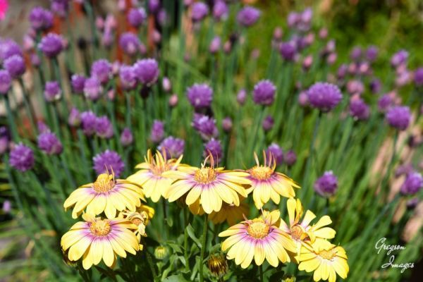 492-Osteospermum-and-Chives-in-the-garden
