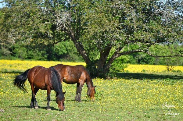 516-Horses-and-buttercups